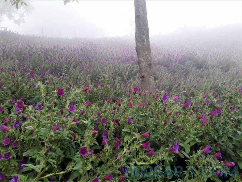 مزرعه گل گاوزبان اشکورات
