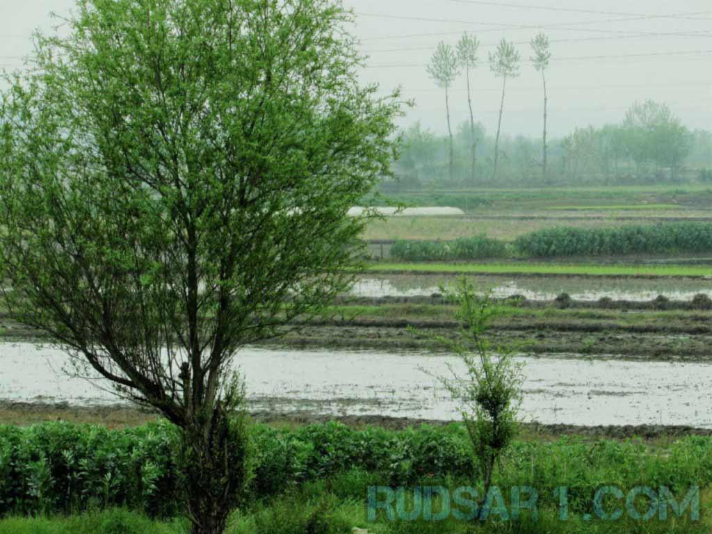 مزرعه برنج رودسر